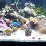55 gallons reef tank (mostly live coral and fish) - new 55 gal shallow reef