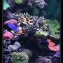 554 gallons reef tank (mostly live coral and fish) - quelques coraux