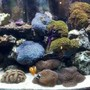 60 gallons reef tank (mostly live coral and fish) - 10 year old reef Tubb Blues-Started with 2 polyps