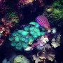 55 gallons reef tank (mostly live coral and fish) - Six-line wrasse