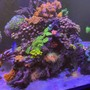 165 gallons reef tank (mostly live coral and fish) - A little splash of color