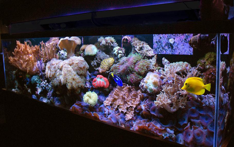 Leather Corals and Soft Coral  aquariumcreationsonlinenet