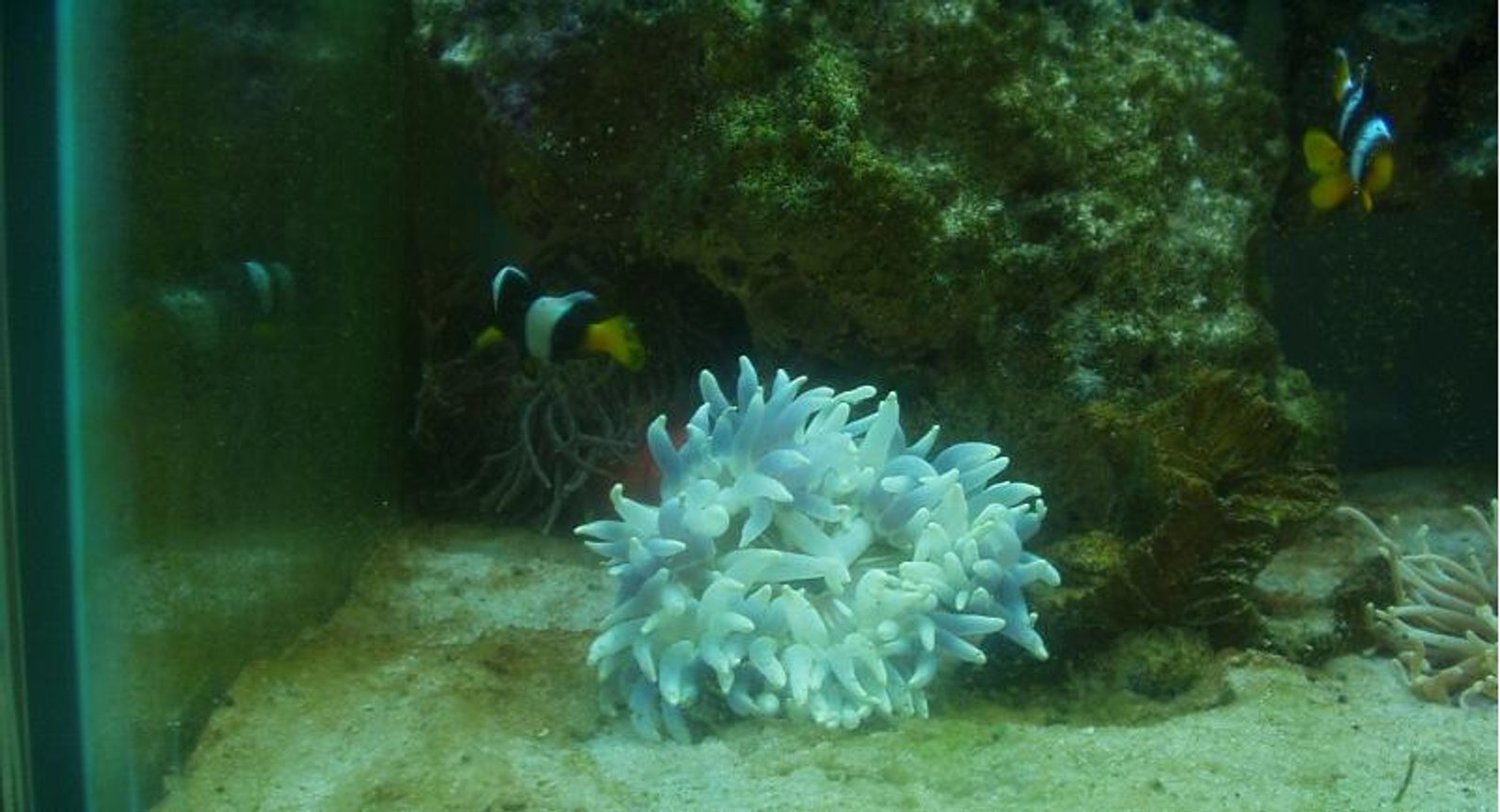 corals inverts - entacmaea quadricolor - bulb anemone - Saltwater with some corals, inverts, and reefs soon