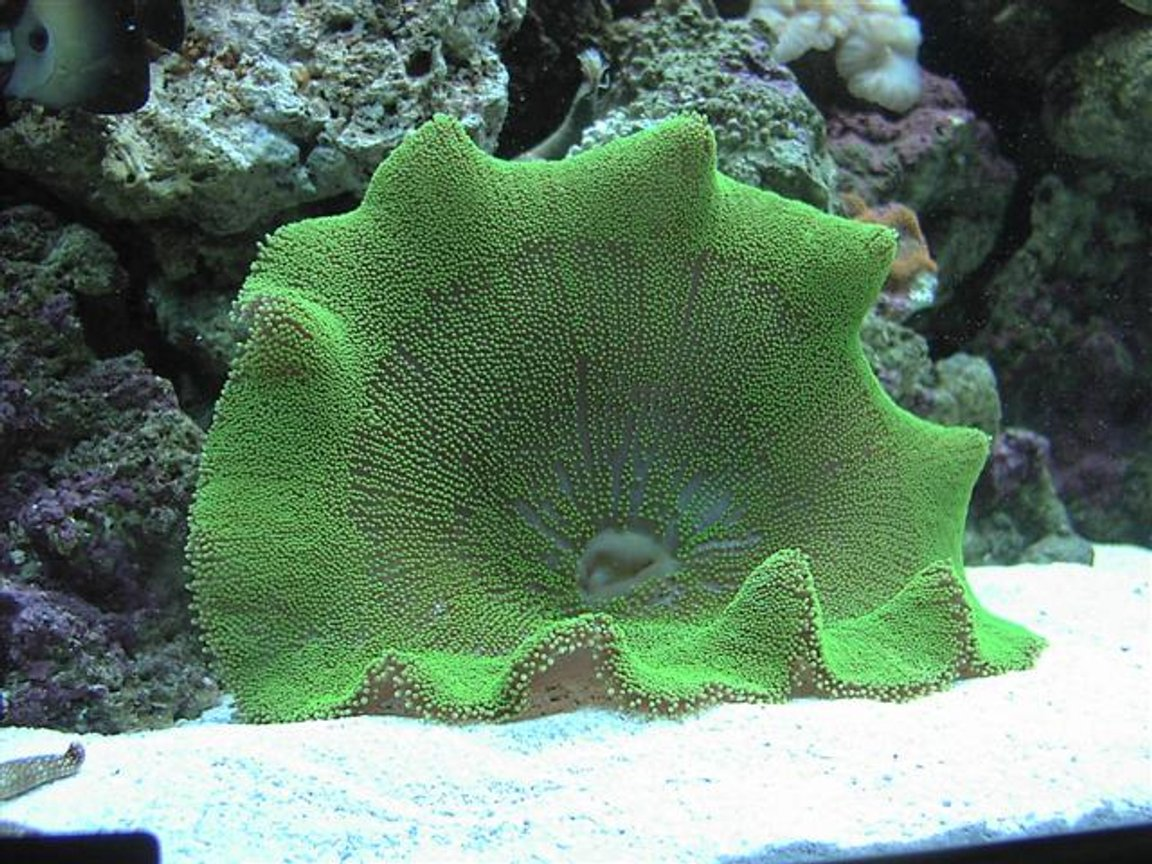 corals inverts - stichodactyla haddoni - green carpet anemone stocking in 125 gallons tank - Green carpet anemone