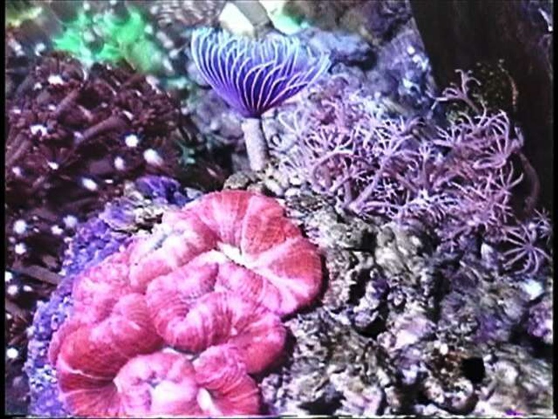 corals inverts - trachyphyllia geoffroyi - brain coral, trachyphyllia stocking in 220 gallons tank - Purple feather duster worm, red brain coral, and pumping Xenia.