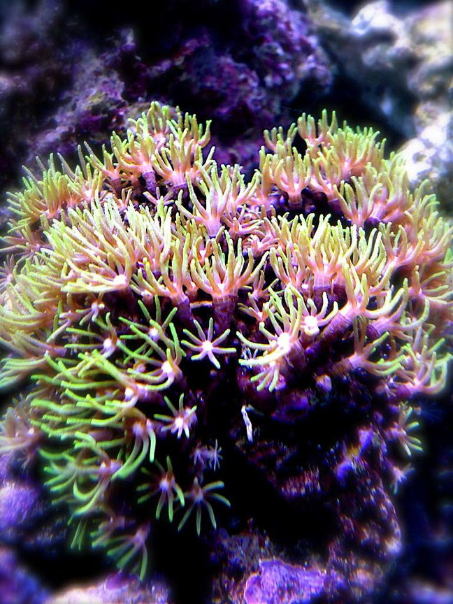 corals inverts - briareum sp. - starburst polyp stocking in 9 gallons tank - I know starpolyps are pretty common, but I love this picture I snapped. Had to put it on.