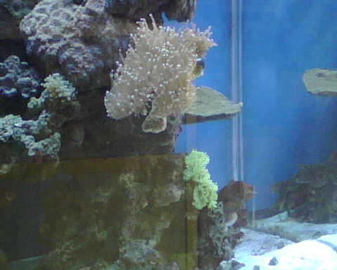 corals inverts - euphyllia glabrescens - torch coral stocking in 90 gallons tank - torch coral and elegant coral