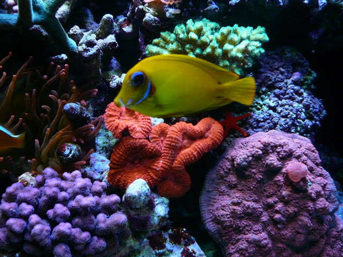 corals inverts - lobophyllia hemprichii - brain coral, lobophyllia stocking in 110 gallons tank - colors-31'' deep