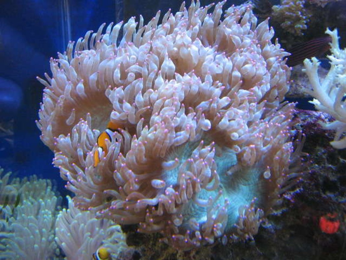 corals inverts - catalaphyllia jardinei - elegance coral stocking in 225 gallons tank - Red Tip Elegant