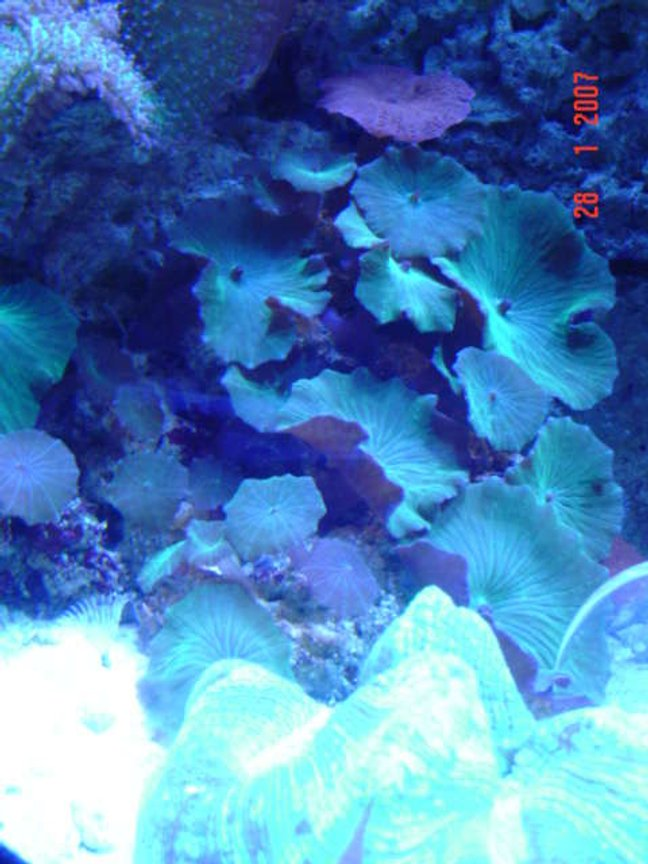 corals inverts - actinodiscus sp. - green striped mushroom stocking in 110 gallons tank - mushrooms