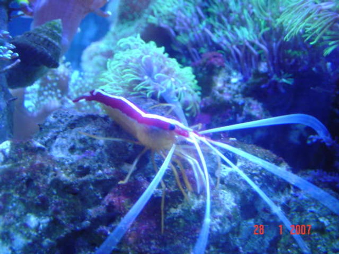 corals inverts - lysmata amboinensis - scarlet skunk cleaner shrimp stocking in 110 gallons tank - cleaner shrimp