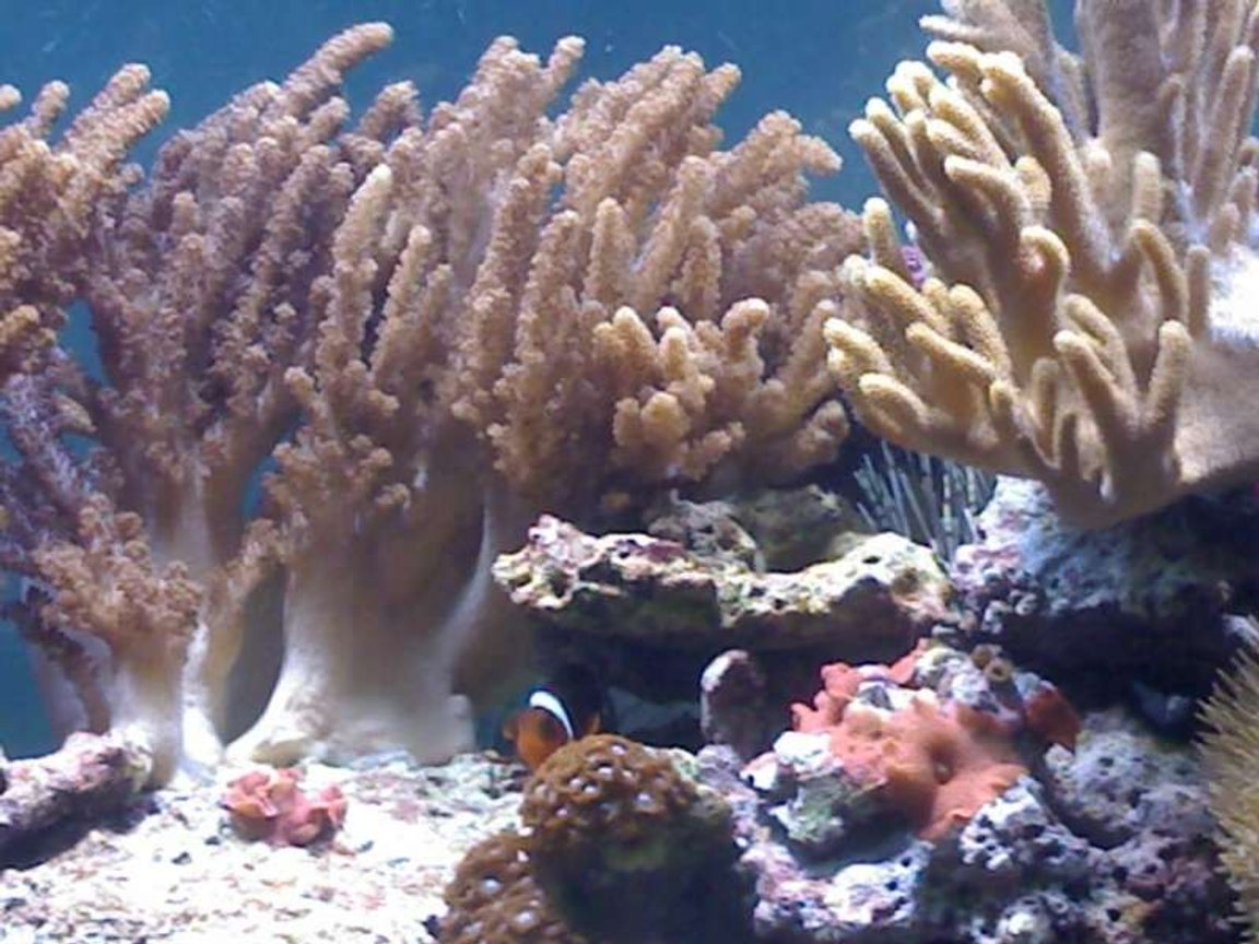 corals inverts - cladiella sp. - cauliflower colt coral stocking in 132 gallons tank - my aquarium14