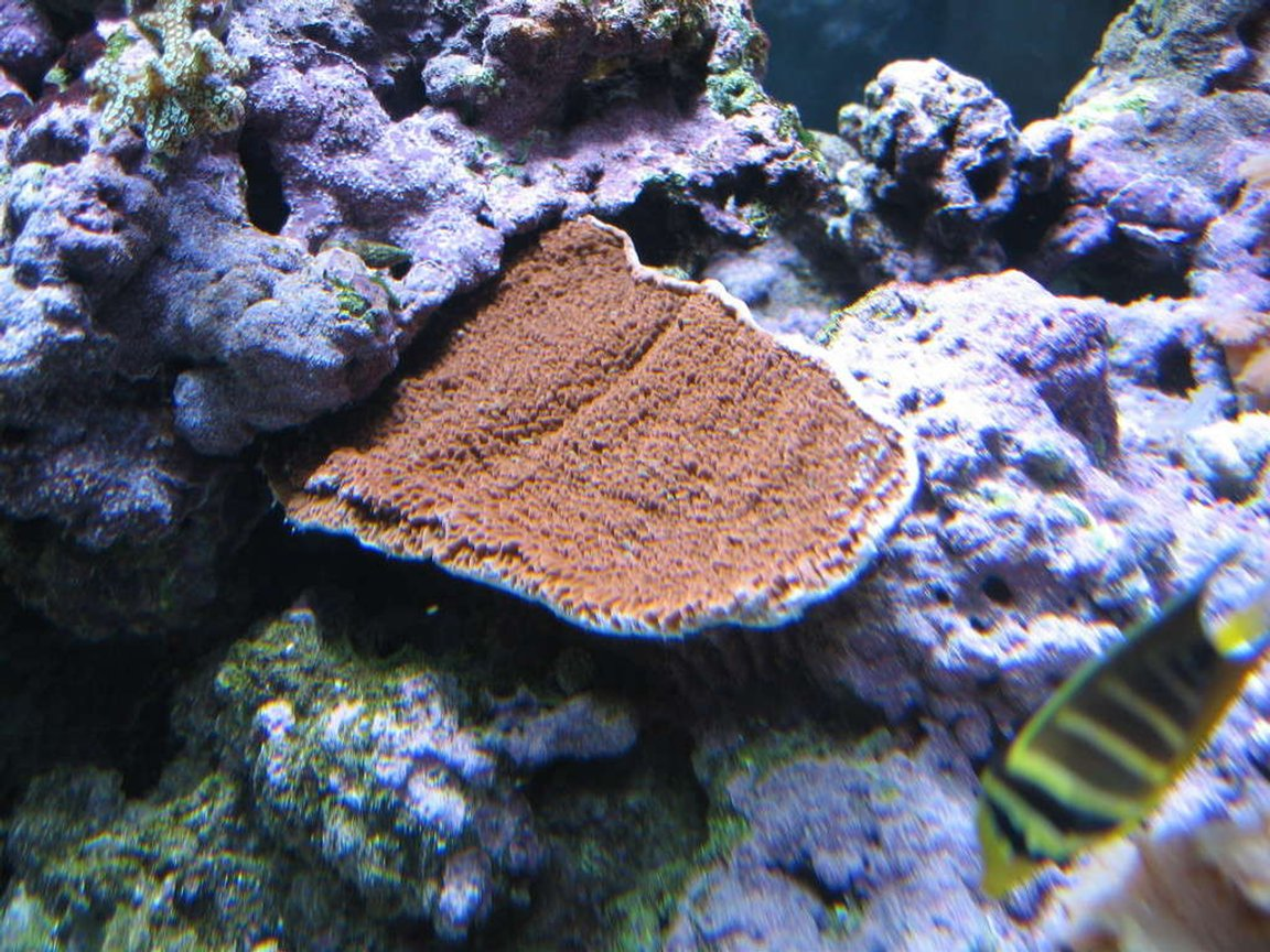 corals inverts - montipora capricornis - montipora capricornis, red stocking in 160 gallons tank - Red Montipora Cup