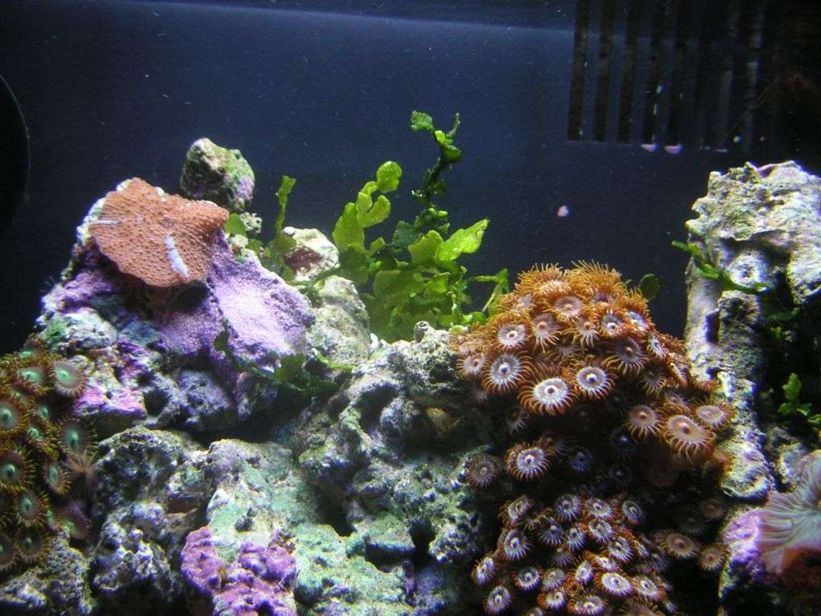 corals inverts - rhodactis inchoata - bullseye mushroom, purple stocking in 8 gallons tank - close up of some coral