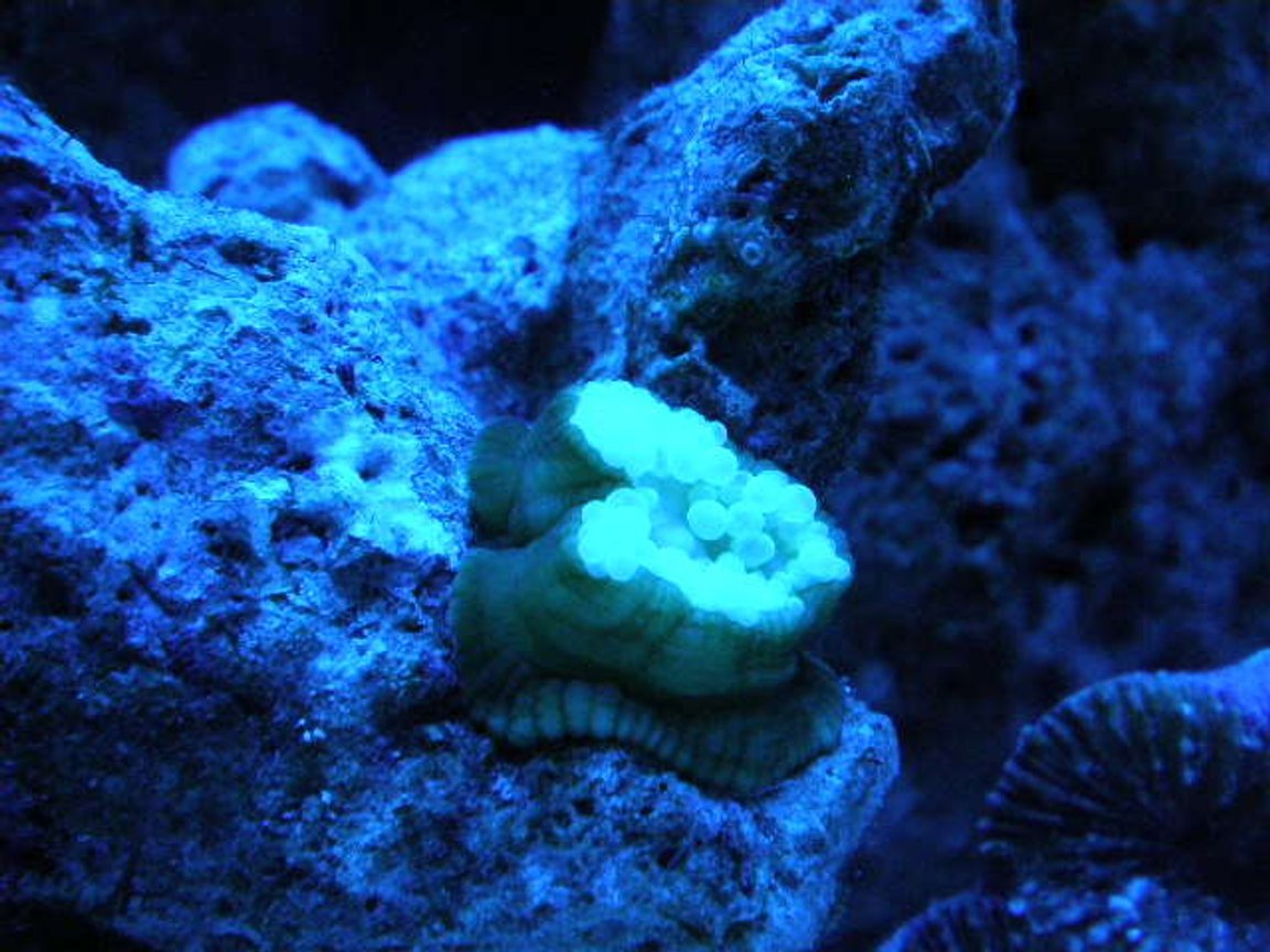 corals inverts - mycedium sp. - green eyed cup coral stocking in 20 gallons tank - new