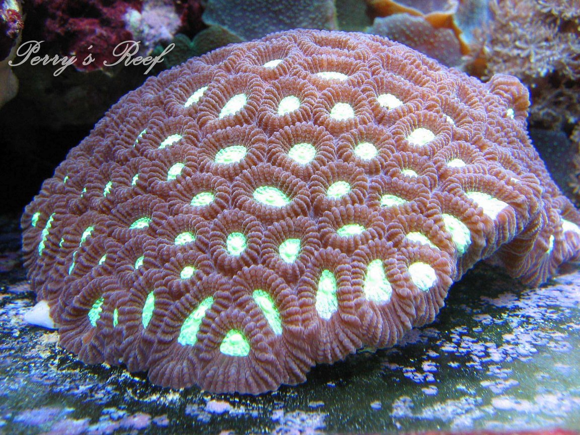 corals inverts - favites sp. - neon eye favia brain stocking in 100 gallons tank - Favites