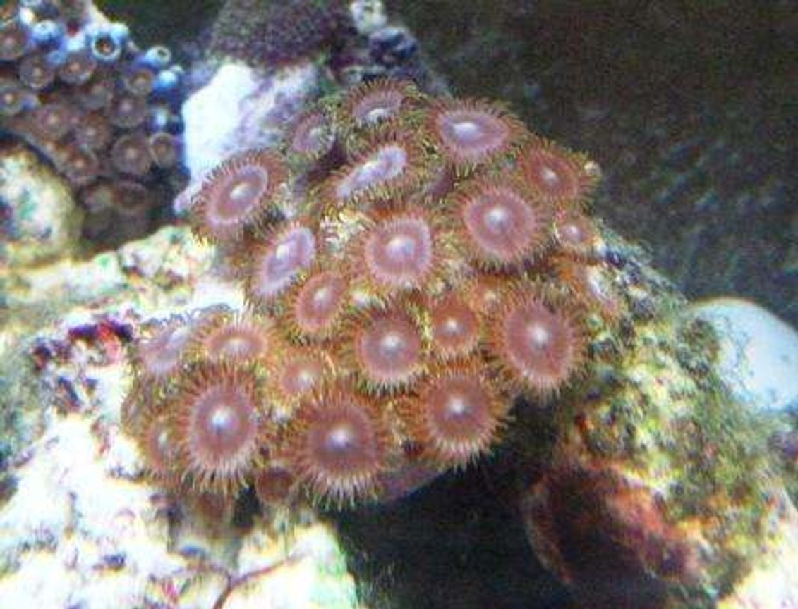 corals inverts - zoanthus sp. - colony polyp stocking in 10 gallons tank - zoas