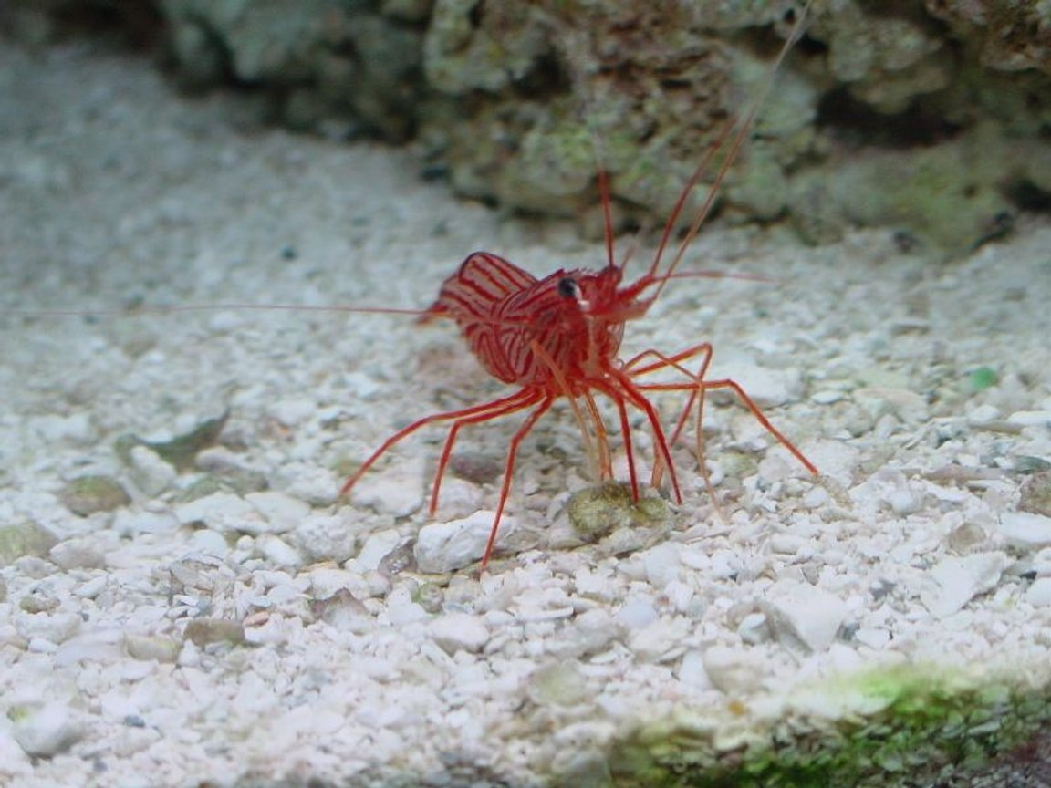 corals inverts - lysmata wurdemanni - peppermint shrimp stocking in 75 gallons tank - curious