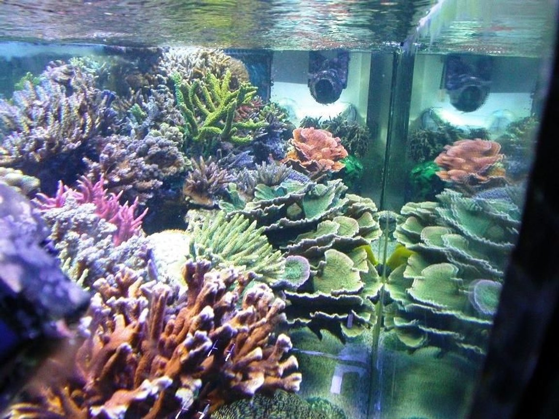 corals inverts - montipora capricornis - green apple cap coral stocking in 160 gallons tank - View from the other side