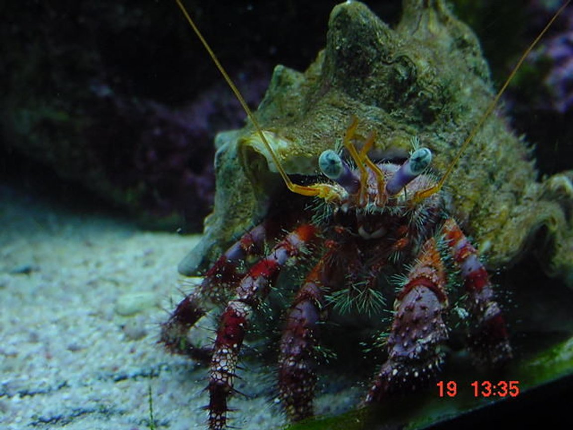 corals inverts - calcinus sp. - electric orange hermit crab stocking in 55 gallons tank - My strawberry hermit, Mr crabs!