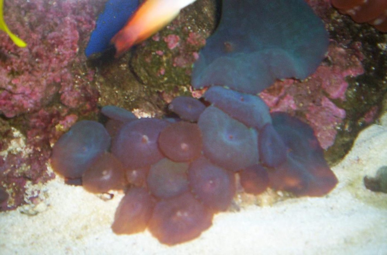 corals inverts - actinodiscus sp. - red mushroom stocking in 55 gallons tank - 2008
