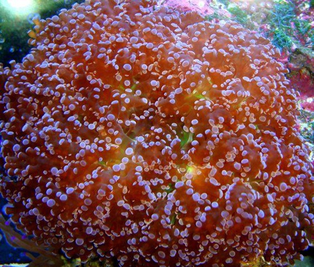corals inverts - euphyllia paradivisa - frogspawn coral stocking in 46 gallons tank - Red Frogspawn
