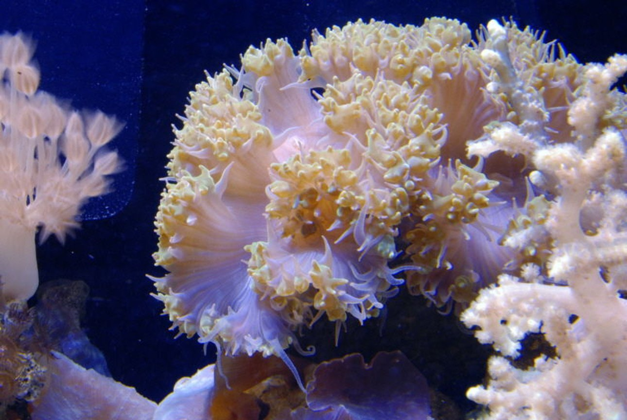 corals inverts - plerogyra sp. stocking in 125 gallons tank - Bubble Coral in 125 reef