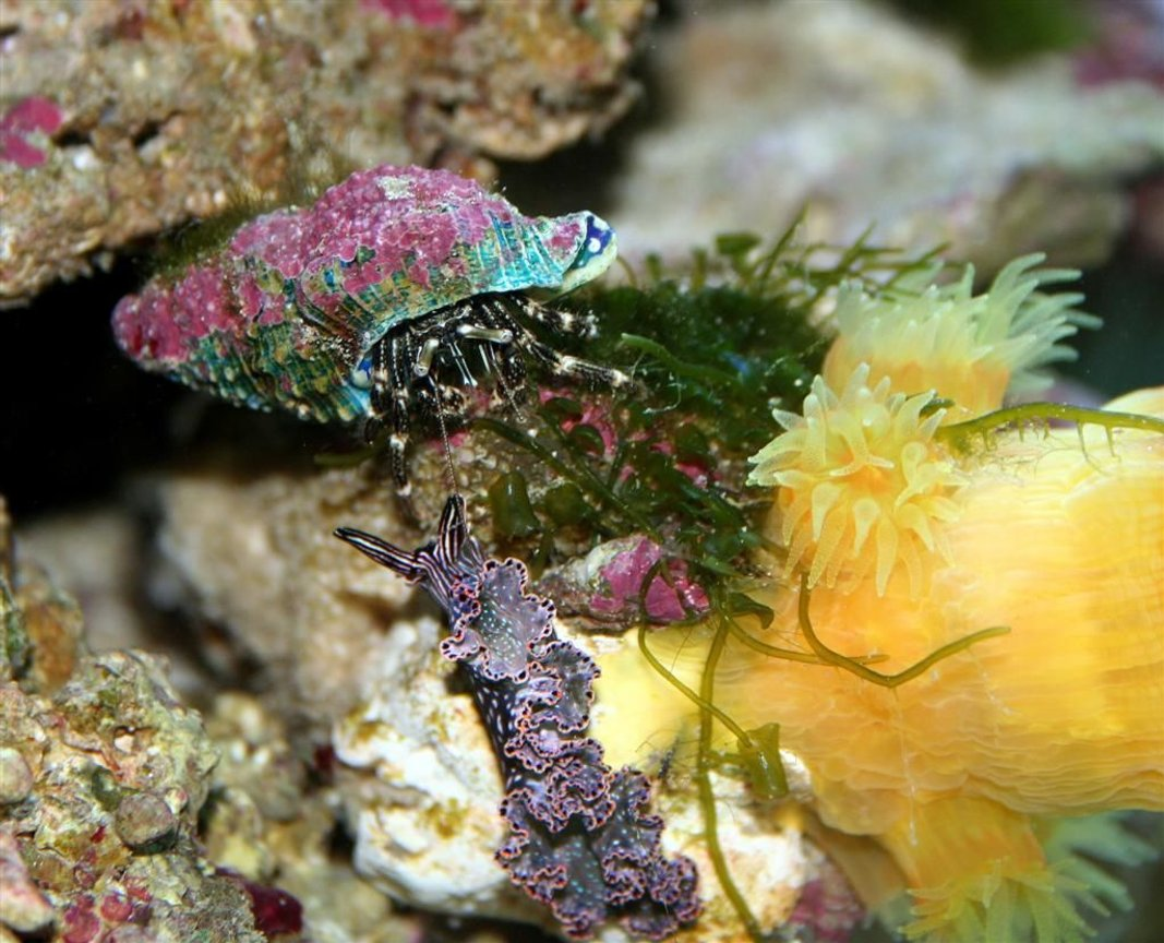 corals inverts - tridachia crispata - lettuce sea slug (nudibranch), green stocking in 24 gallons tank - Dark Nudibranch, Hermit, Dendrophyllia the nudibranch meets the hermit below the dendro.... for a date