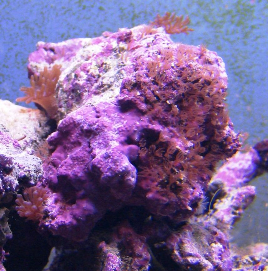corals inverts - tubipora musica - pipe organ coral stocking in 75 gallons tank - Red Star Polyps