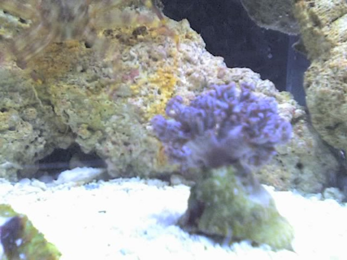 corals inverts - anthelia sp. - waving hand - blue stocking in 5 gallons tank - Xenia!!!!!!!!!!!