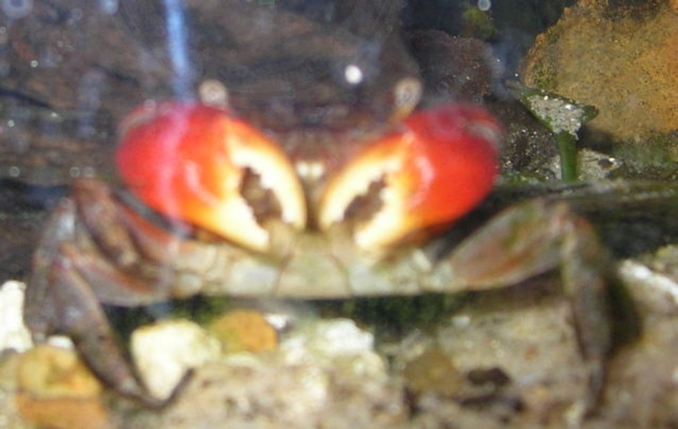 corals inverts - sesarma bidens - red claw crab stocking in 125 gallons tank - Red claw crab