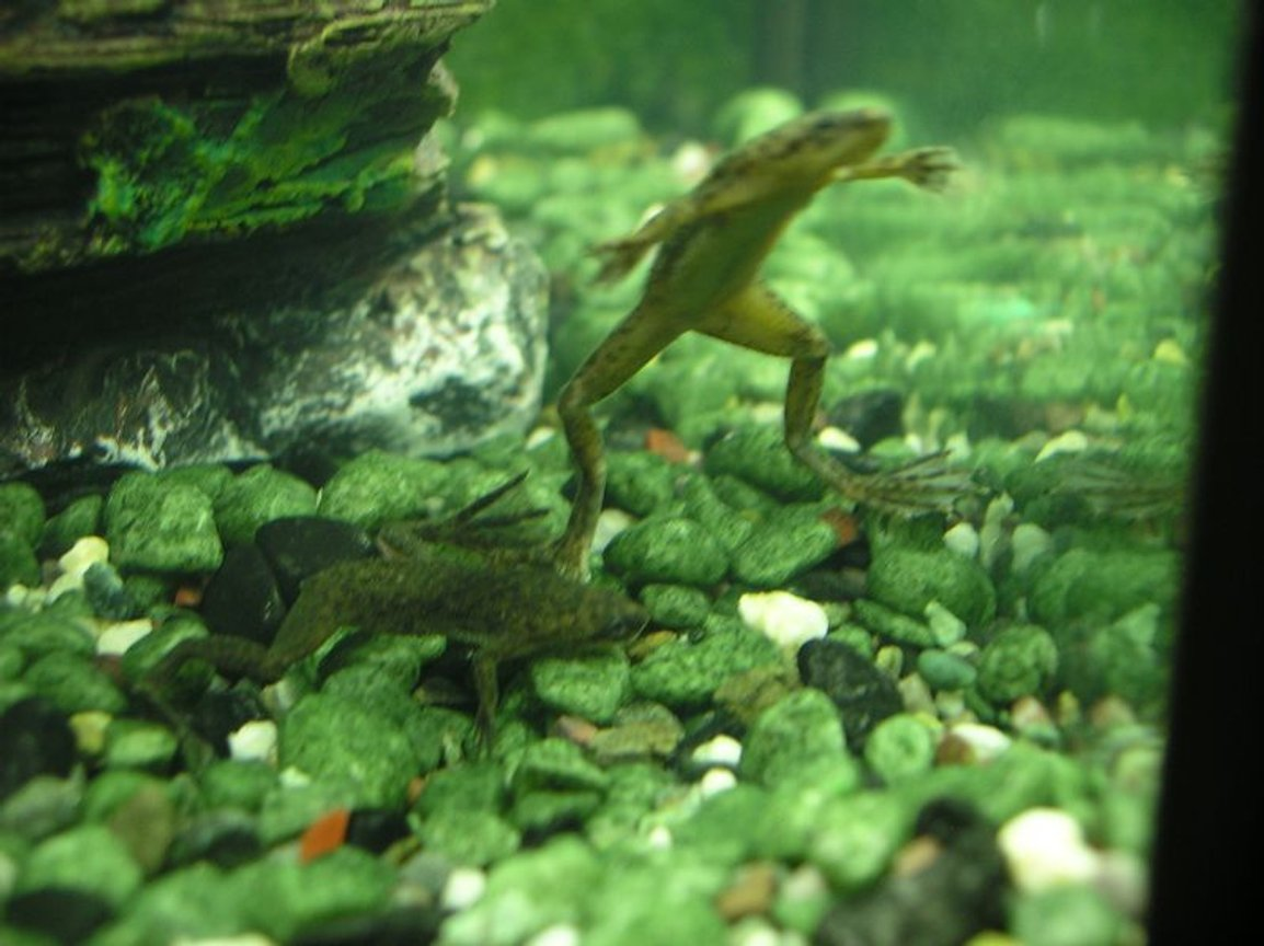 corals inverts - hymenochirus boettgeri - african dwarf frog stocking in 5 gallons tank - My two african dwarf frogs