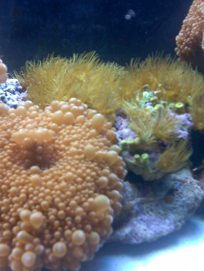 corals inverts - ricordea florida - ricordea mushroom stocking in 80 gallons tank - Mushroom-Star Polyps (just fed)