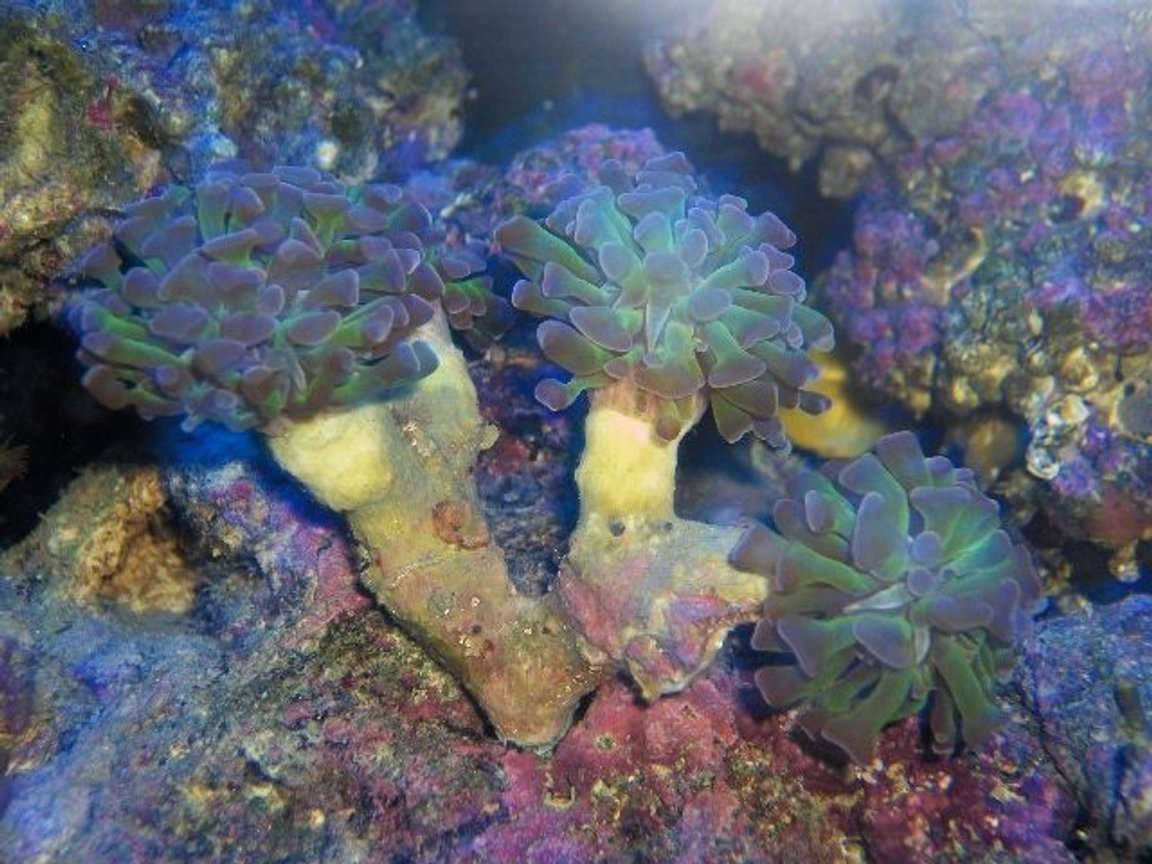 corals inverts - euphyllia paranchora - hammer / anchor coral, branching stocking in 125 gallons tank - night shot