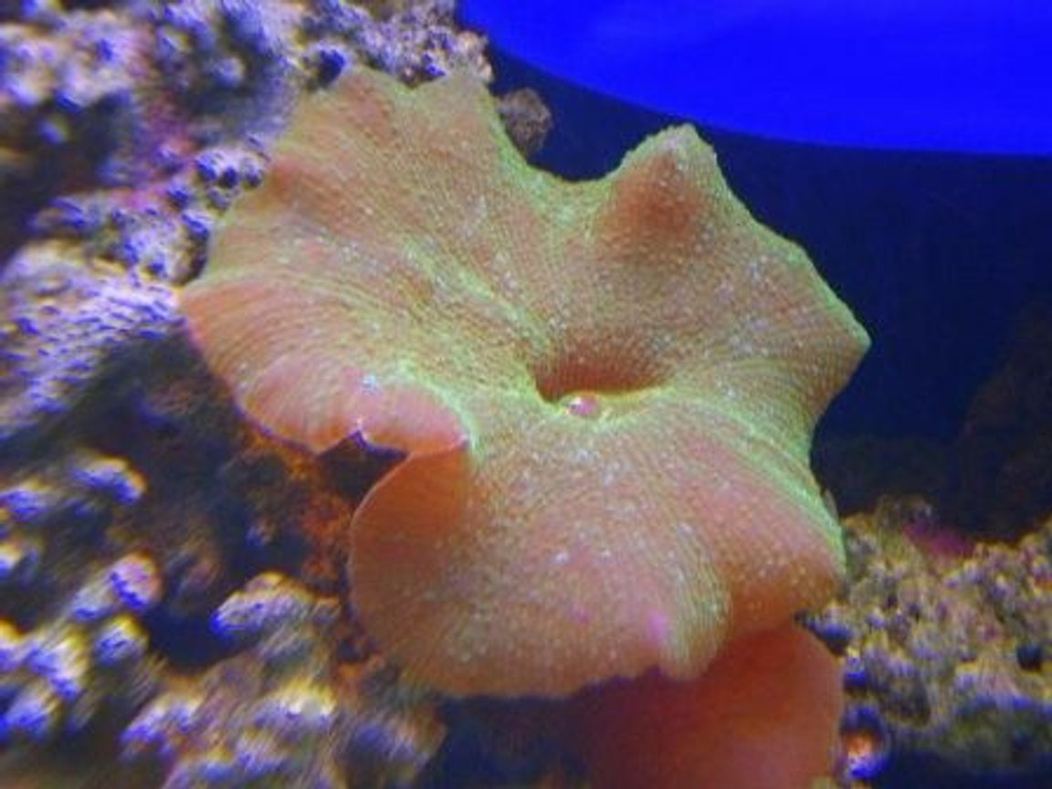corals inverts - actinodiscus sp. - green fluorescent mushroom stocking in 90 gallons tank - green mushroom