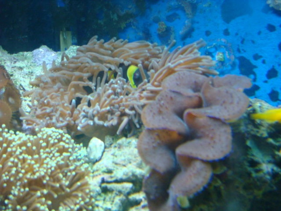 corals inverts - euphyllia glabrescens - torch coral stocking in 35 gallons tank - Clowns fav home