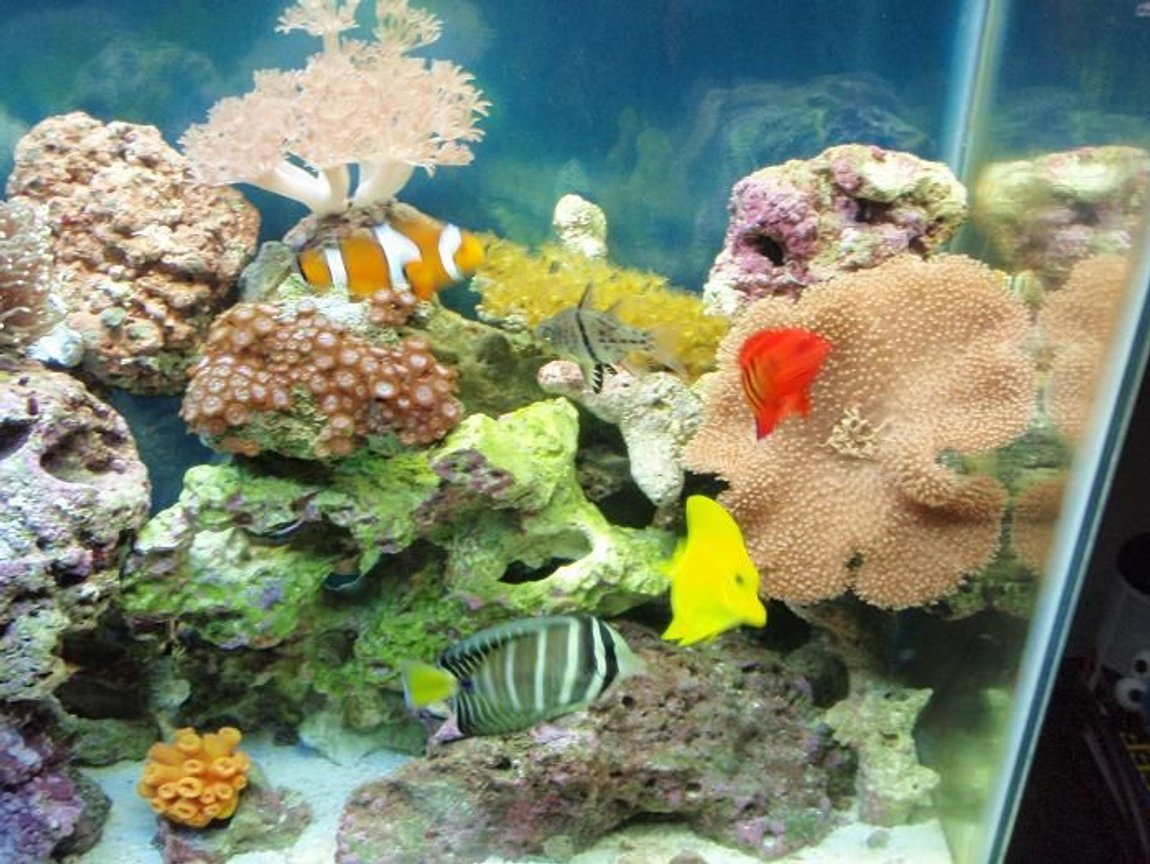 corals inverts - sarcophyton sp. - toadstool mushroom leather coral stocking in 37 gallons tank - Gathering
