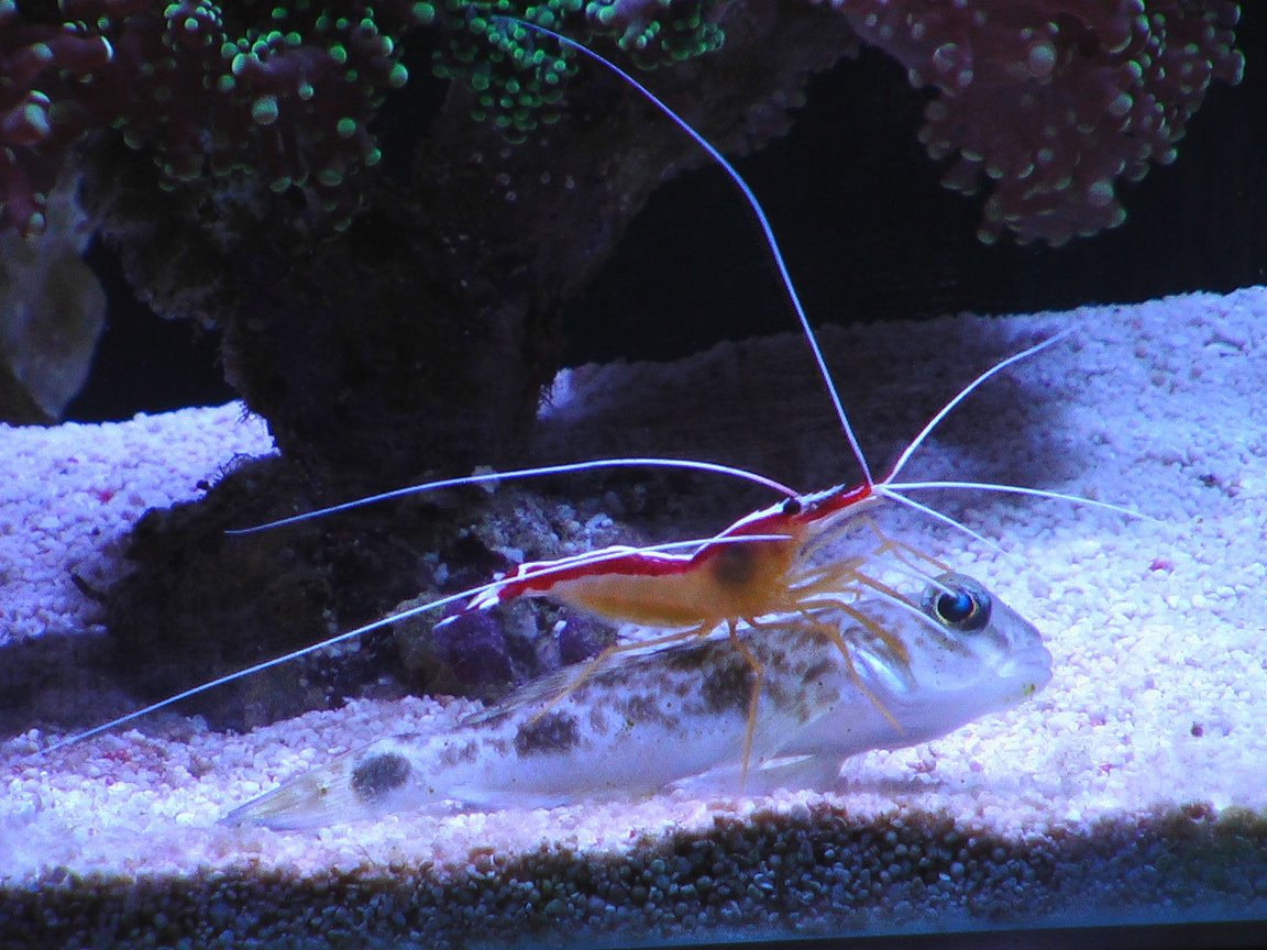 corals inverts - lysmata amboinensis - scarlet skunk cleaner shrimp stocking in 100 gallons tank - Goby and shrimp