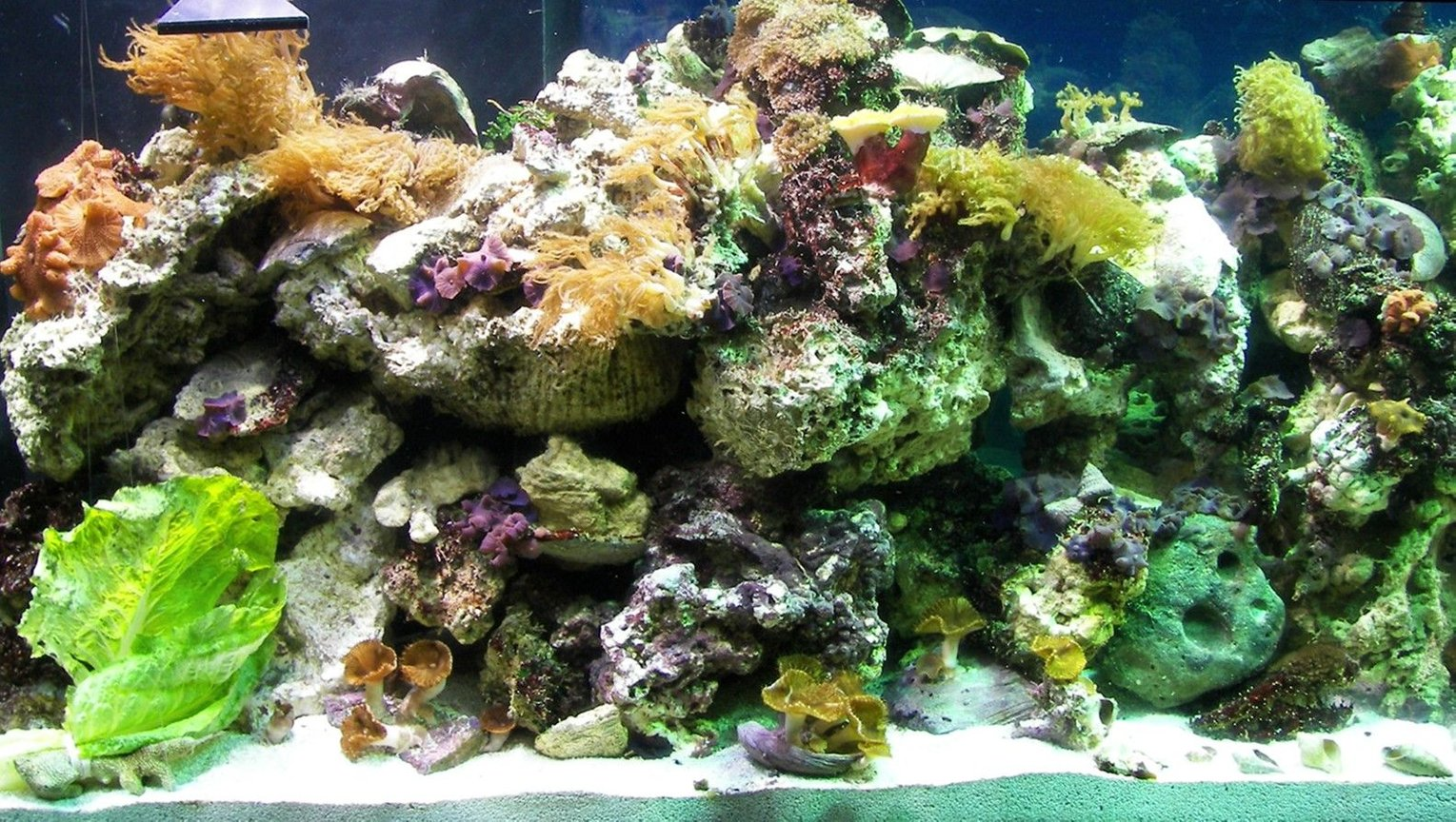 corals inverts - montipora capricornis stocking in 125 gallons tank - this is the left side 4 days after set up. May 2007