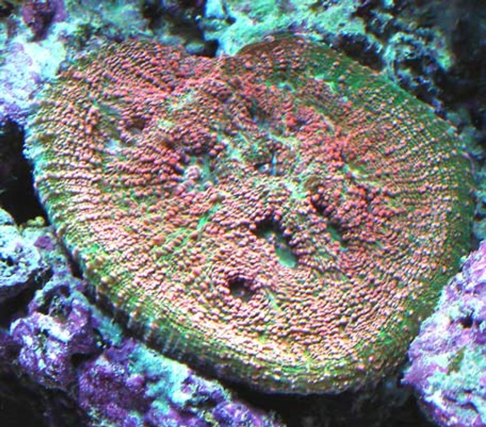 corals inverts - echinophyllia sp. - watermelon echinophyllia stocking in 120 gallons tank - Echno