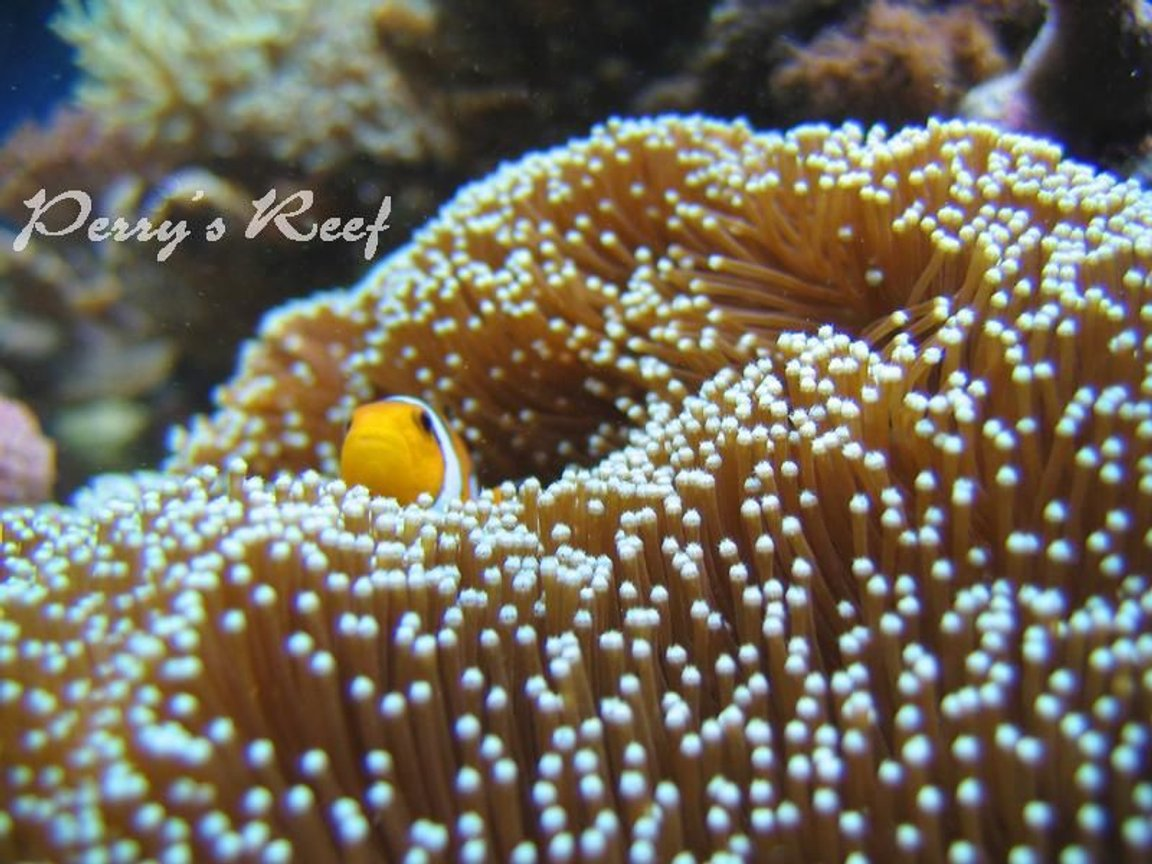 corals inverts - euphyllia glabrescens - torch coral stocking in 100 gallons tank - ocellaris