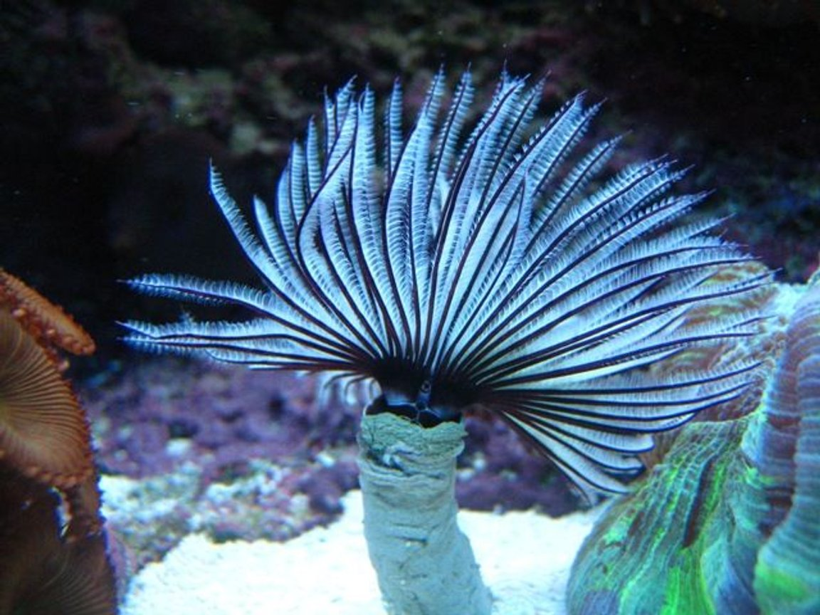 corals inverts - sabellastarte magnifica - magnificent feather duster stocking in 46 gallons tank - Black & White Feather Duster