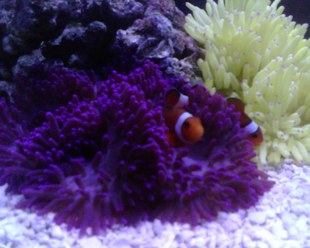 corals inverts - heteractis malu - sebae anemone, pink/purple stocking in 56 gallons tank - Five Gallons Hexagon, just a couple of anemones and two clowns in it