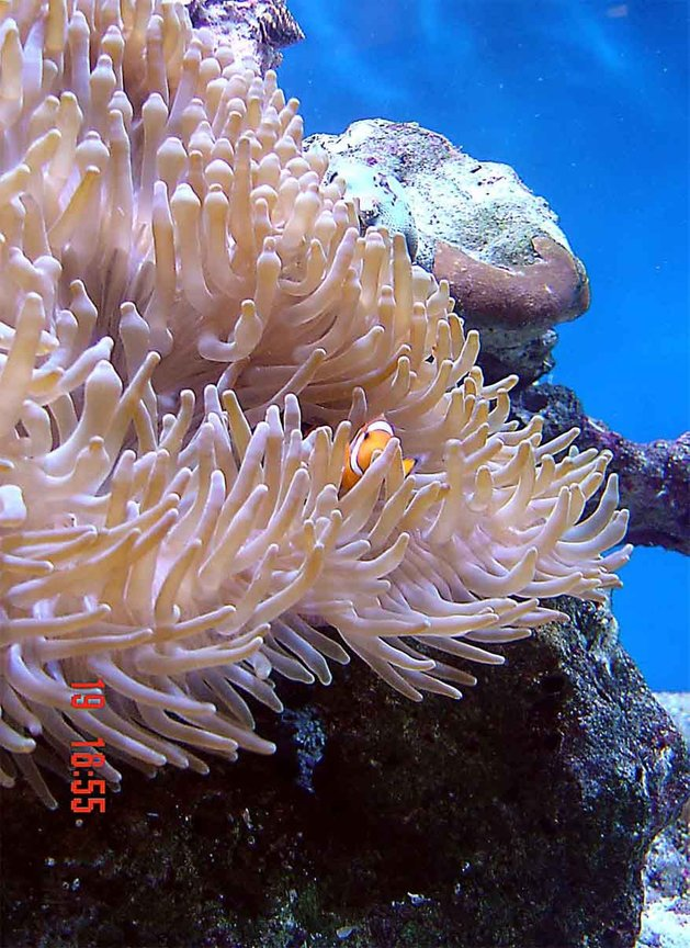 corals inverts - heteractis crispa - sebae anemone stocking in 185 gallons tank - Most definatly the most photographic fish