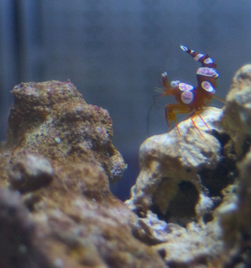 corals inverts - thor amboinensis - sexy anemone shrimp stocking in 26 gallons tank - Mmm. So seeeeeeexy.