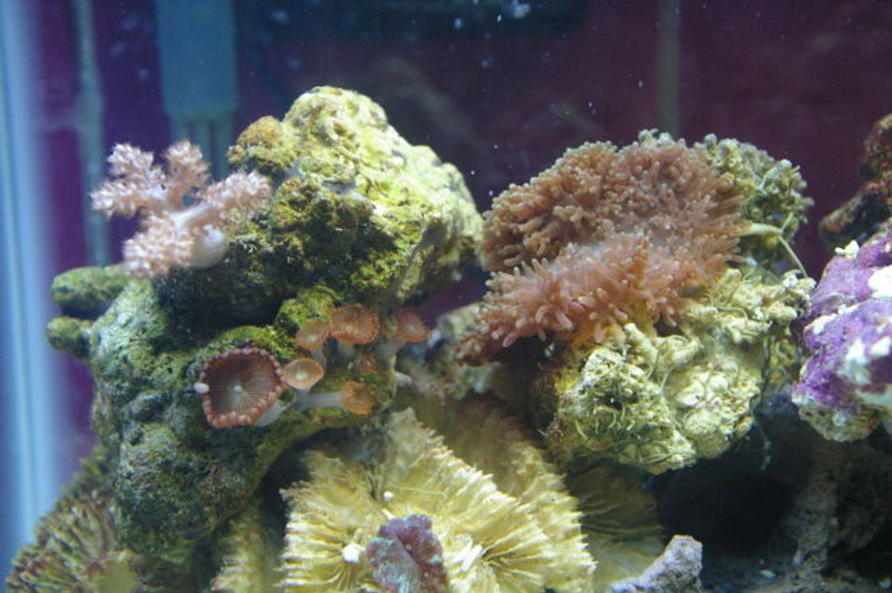 corals inverts - rhodactis indosinensis - hairy mushroom stocking in 75 gallons tank - mushrooms some zoo's and a little kenya