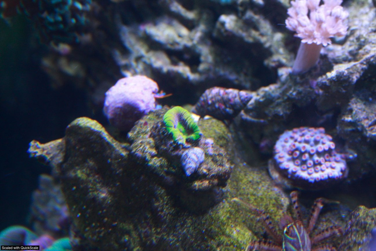 corals inverts - mycedium sp. - green eyed cup coral stocking in 60 gallons tank - prism favia, electric blue hermit, sally lightfoot crab, xenia and metero shower cyphastrea.