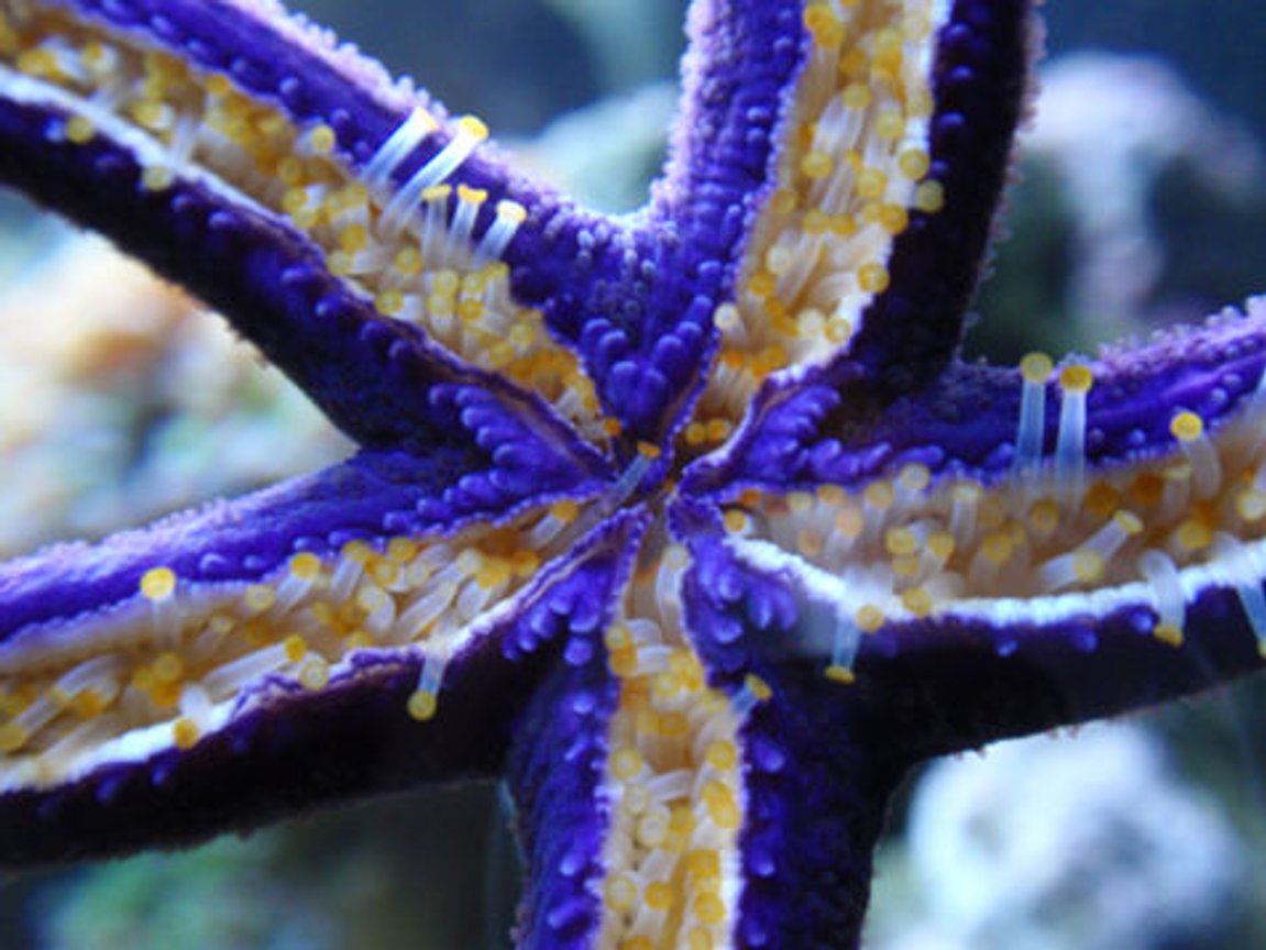 corals inverts - linckia teres - linckia sea star, purple stocking in 144 gallons tank - Purple linkia star