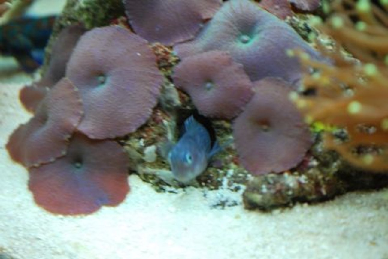corals inverts - actinodiscus sp. - purple mushrooms stocking in 60 gallons tank - BiColor Blenny (Lenny) He likes to hide in this mushroom coral