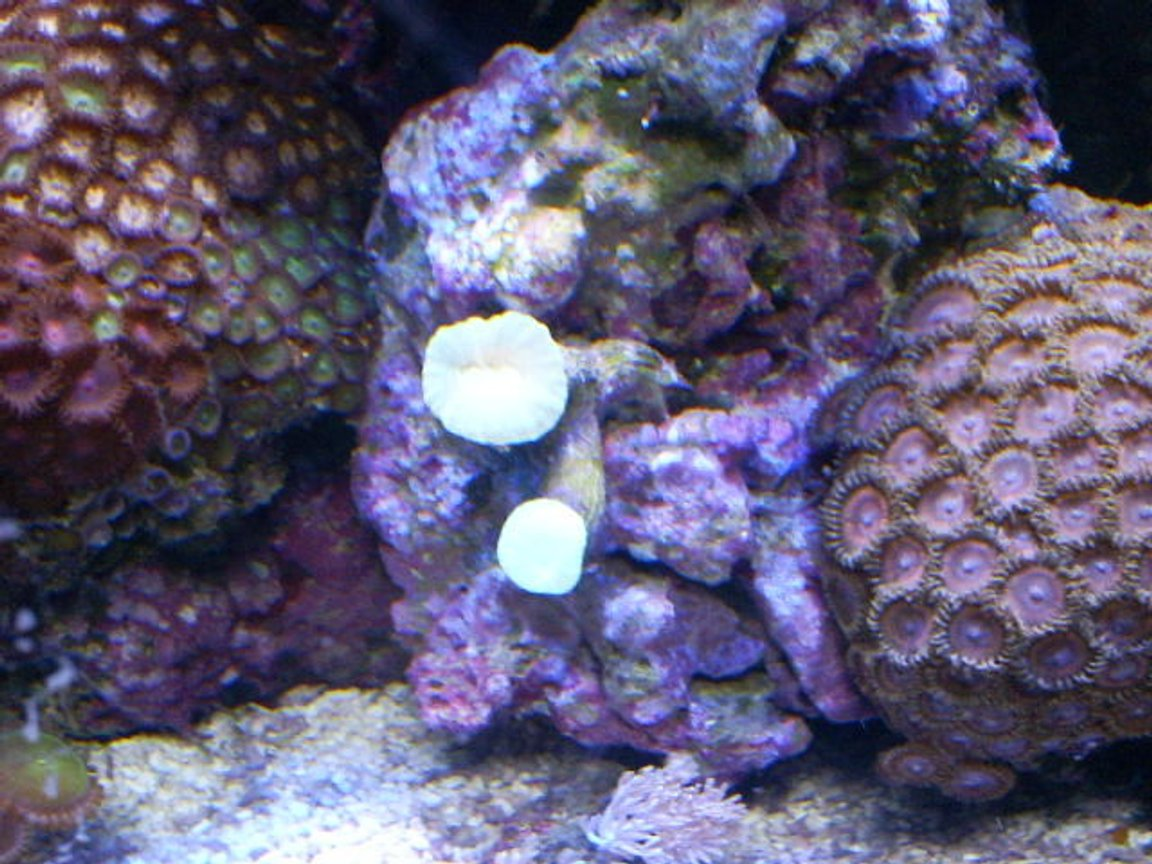 corals inverts - zoanthus sp. - button polyp, pink stocking in 24 gallons tank - pink pallys and candy cane coral